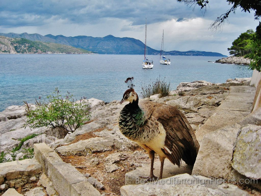Exotic birds can meet you near the walls of old Dubrovnik fortress
